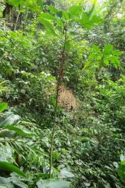Carica microcarpa subsp. baccata – Fig Papaya
