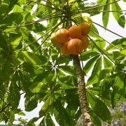 Carica palandensis – Papaillo