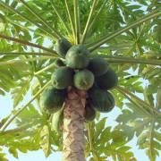 Carica papaya 'Honeydew' – Papaya