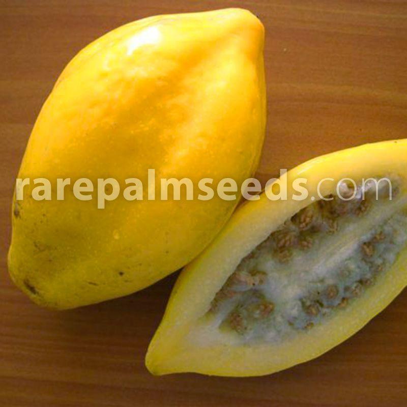Samen Semillas Graines 5+ seeds Carica pubescens Mountain papaya