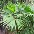 Carludovica palmata – Panama Hat Palm