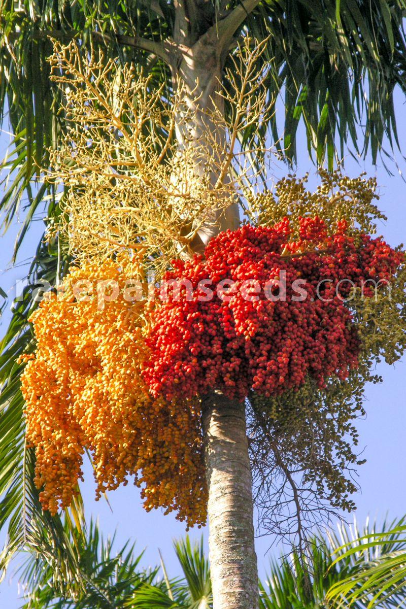 20 Carpentaria acuminés Palme carpentariapalme Palm graines Australia SEEDS