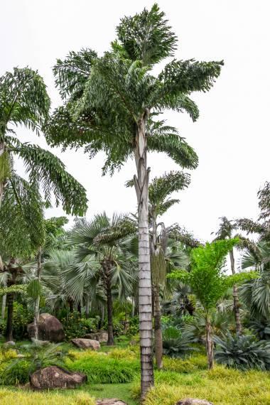 Caryota no – Borneo Fishtail Palm