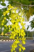 Cassia fistula – Golden Shower Tree