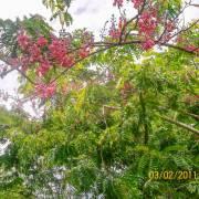 Cassia grandis – Pink Shower Tree