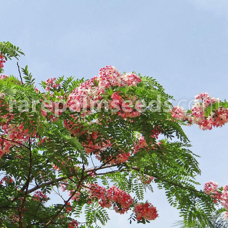 Stunning Pink Shower Tree Cassia javanica Seeds