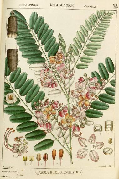 Cassia roxburghii – Ceylon Senna, Red Cassia
