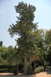 Casuarina equisetifolia – Kasuarine