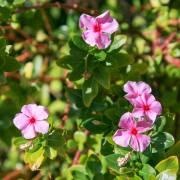 Catharanthus roseus – pervenche de Madagascar