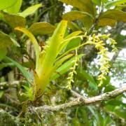 Catopsis sessiliflora