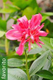 Cavendishia adenophora – Quereme de la rosa