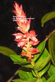 Cavendishia sp. 'Chocó'