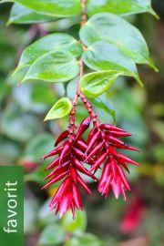 Cavendishia tryphera