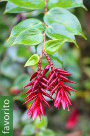 Cavendishia tryphera – Quereme macho