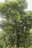 Cedrela montana – Andean Cedar