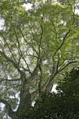 Cedrela odorata – Spanish Cedar