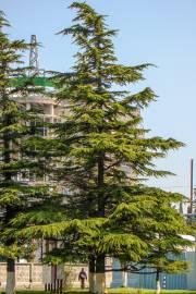 Cedrus deodara – Deodar Cedar, Himalaya Cedar
