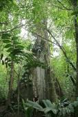 Ceiba pentandra – Kapok Tree