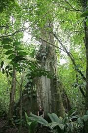 Ceiba pentandra – Kapokier, bois coton