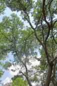 Celtis africana – White Stinkwood