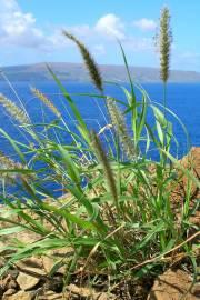 Cenchrus ciliaris – Buffel Grass, African Foxtail Grass