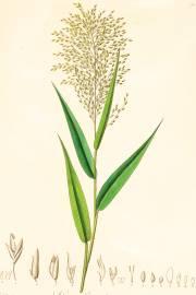 Centotheca lappacea