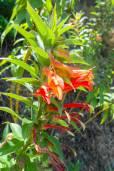 Centropogon solanifolius
