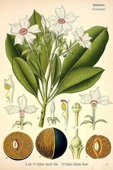Cerbera odollam seeds for sale