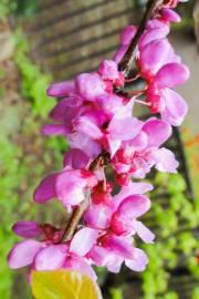 Cercis chinensis – Cercis arbustivo
