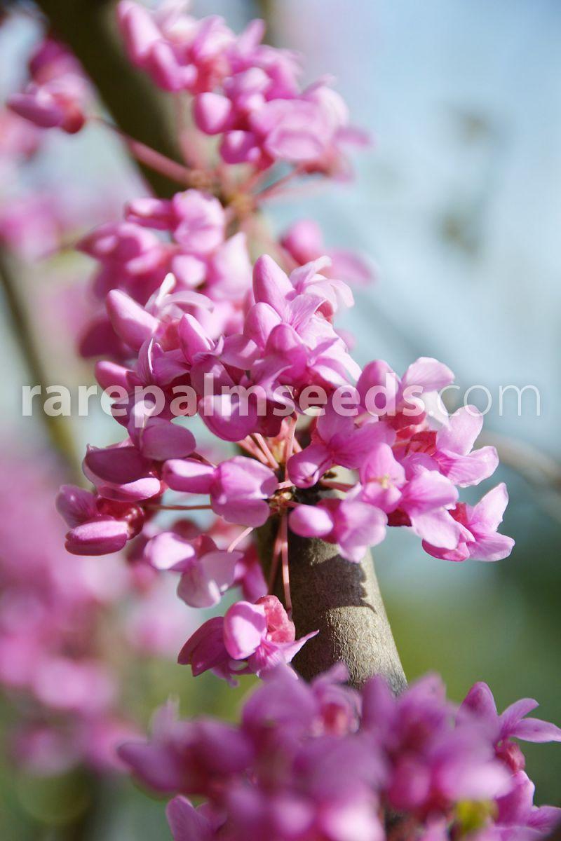 Cercis Occidentalis árbol Del Amor árbol De Judas Compra Semillas En Rarepalmseeds Com