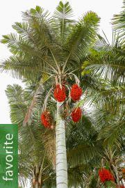 Ceroxylon alpinum – Andean Wax Palm