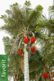 Ceroxylon alpinum – Anden-Wachspalme