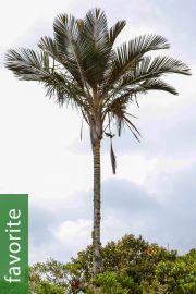 Ceroxylon parvifrons – Golden Wax Palm