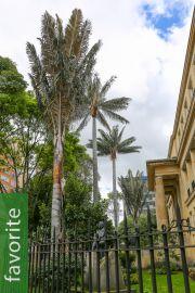 Ceroxylon quindiuense – Quindio Wax Palm