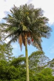 Ceroxylon sasaimae – Sasaima Wax Palm