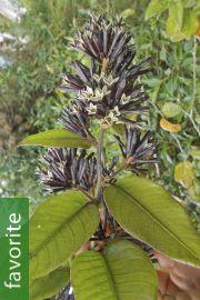 Cestrum buxifolium 'Black Beauty'