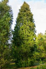 Chamaecyparis lawsoniana – Le Cyprès de Lawson