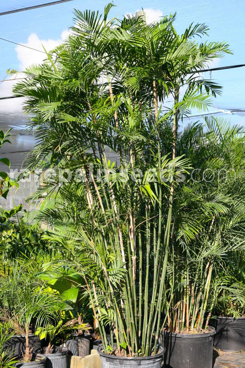 Chamaedorea Costaricana Costa Rica Bamboo Palm Buy