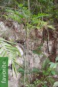 Chamaedorea elegans – Parlor Palm