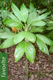 Chamaedorea ernesti-augusti – Xaté Palm