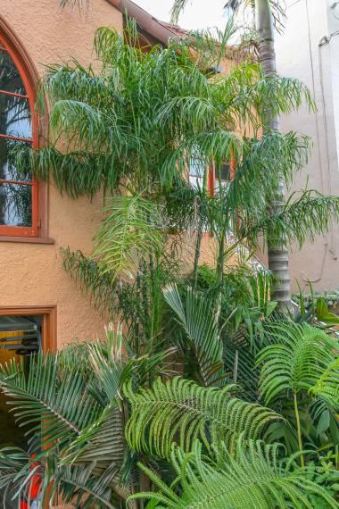 Chamaedorea plumosa – Baby Queen Palm