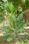 Chamaedorea tepejilote – Pacaya-Palme