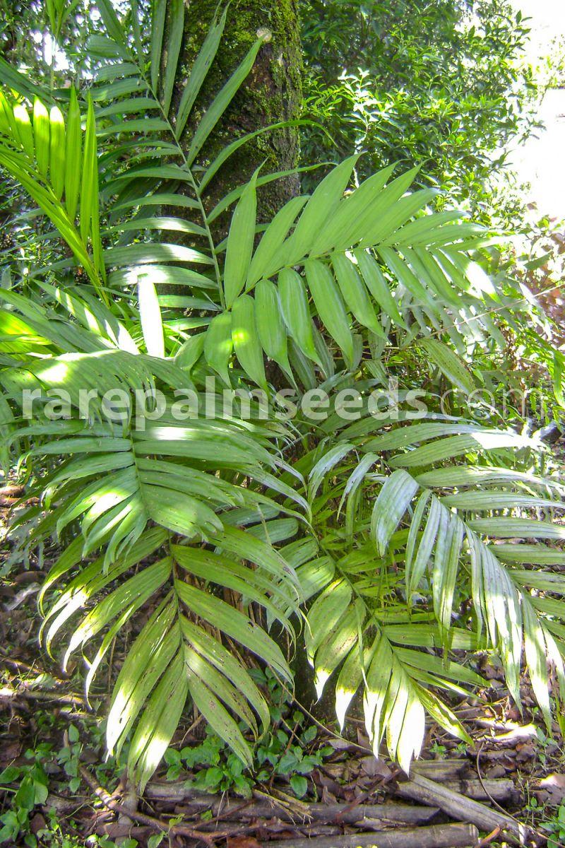 "Chamaedorea tepejilote 4/"" pot Palm Tree Seed Rare Tropical"