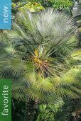 Chamaerops humilis – Mediterranean Fan Palm