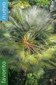 Chamaerops humilis – Palma de escoba, palmito