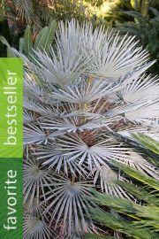 Chamaerops humilis var. cerifera – Blue Mediterranean Fan Palm