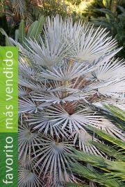 Chamaerops humilis var. cerifera – Palmito azul