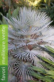 Chamaerops humilis var. cerifera – Palmier bleu du Maroc