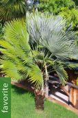 Chamaerops humilis 'Vulcano' – Vulcano Fan Palm
