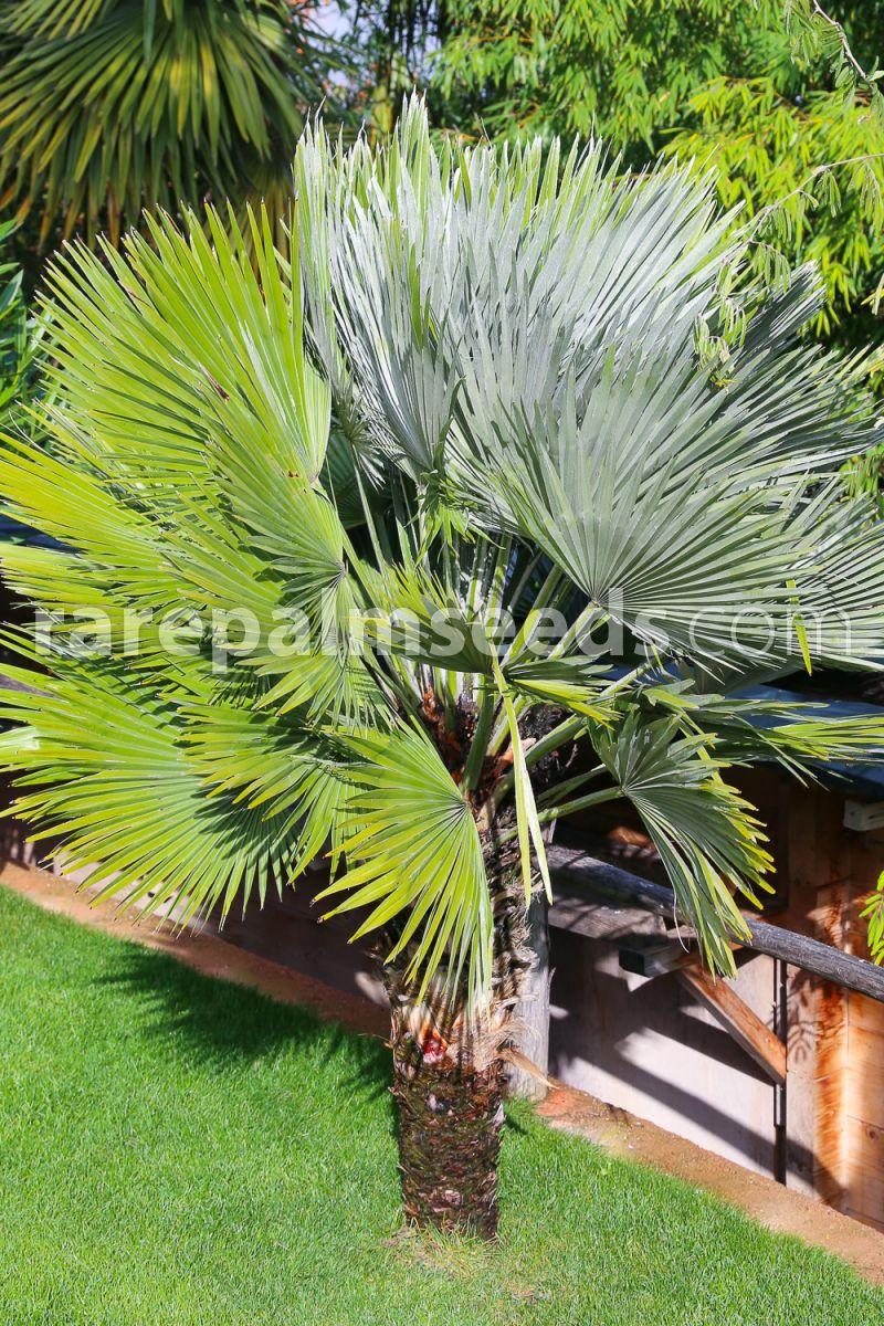 Sabal mauritiiformis 10 Fresh Seeds Fan Palm
